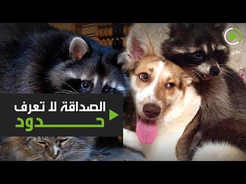 شاهد الصداقة لا تعرف حدود وعشق الحيوانات يكشفها