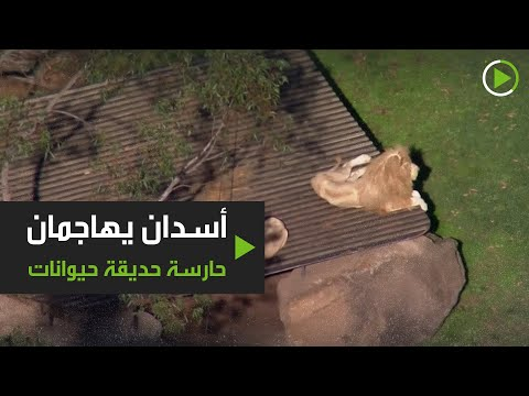 شاهد أسدان يُهاجمان حارسة حديقة حيوانات في سيدني الأسترالية